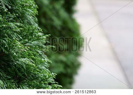 A Nature Background Of Thuja Sinensis Leaves With Copy Space.
