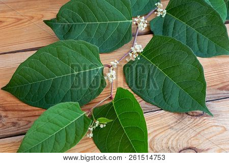 Blooming Japanese Knotweed Branch On A Table
