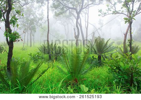 Cycad Palm Tree In The Forest With The Mist In Background