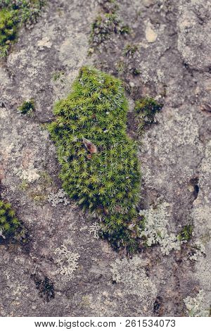 Green Moss Texture On Stone Background. Close Up View Of Mossy Texture And Background In Wild Nature