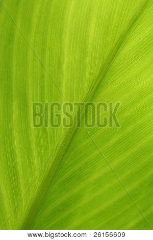 Banana Leaf for background