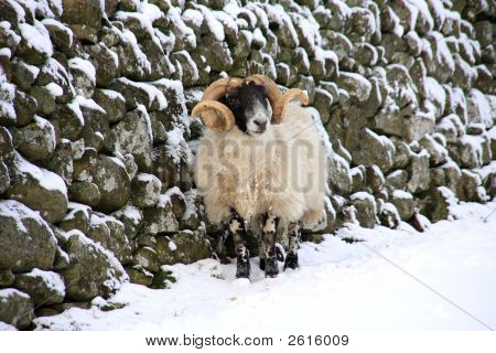 Sheep in the snow up in Northumberland's National park poster