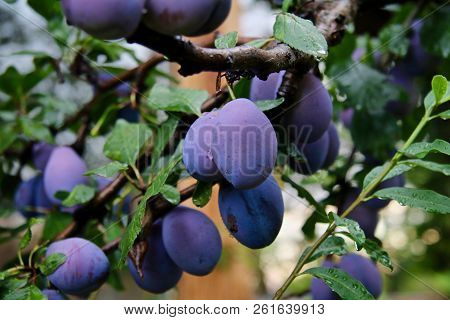 Plums Hanging On The Tree Almost Ripe For Picking