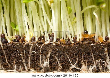 english salad crees, seasonal herb, close up of roots