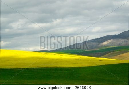 Canola Fields, Garden Route, South Africa
