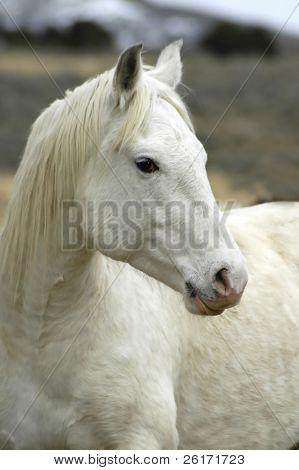 Белая лошадь с размытым фоном