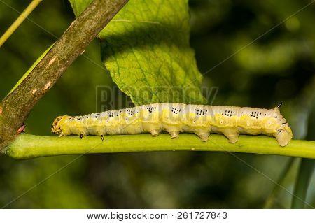 A Close Up Of A Catalpa Sphinx Caterpillar