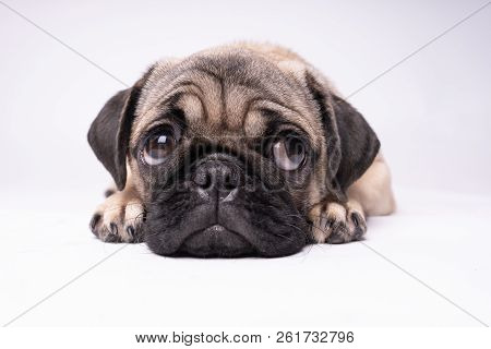Pug, Dog On White Background. Cute Friendly Fat Chubby Pug Puppy. Pets, Dog Lovers, Isolated On Whit