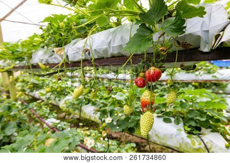 Strawberry growing in a chemical greenhouse in the Cameron Highlands, Malaysia