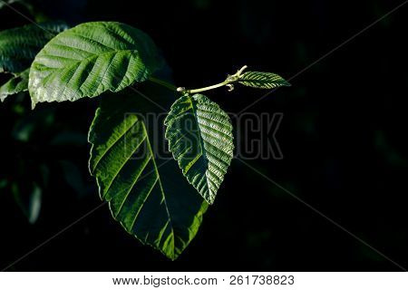 Green Leaves With Angled Light Over An Isolated Black Background In The Day