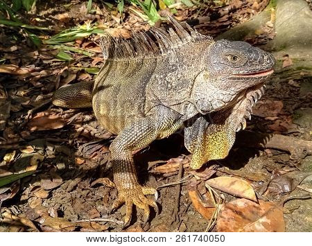 Great Specimen Of A Green Iguana, Brown Color, Over Leaf Litter At The Wild Nature. Amazing Detail O