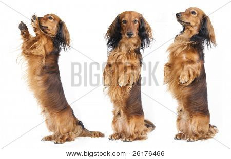 A Dachshund begs for a treat. Studio shot against white background.