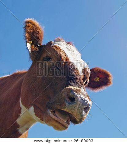 Head Shot of an Ayrshire Cow