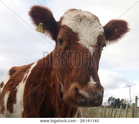 An Ayrshire Cow looking at the camera