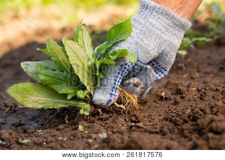 Close Up Of Gardening Hand In Glove Pulling Out Weeds Grass From Soil. Work In Garden. poster