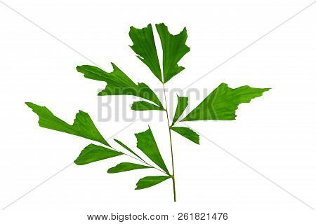 Pattern of green leaf plant (Caryota urens,Fishtail Palm, Wart Fishtail Palm,Caryota mitis Lour) on white background.Saved with clipping path. poster