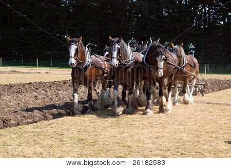 Six Horse Clydesdale Team Ploughing in a Sprayed Field