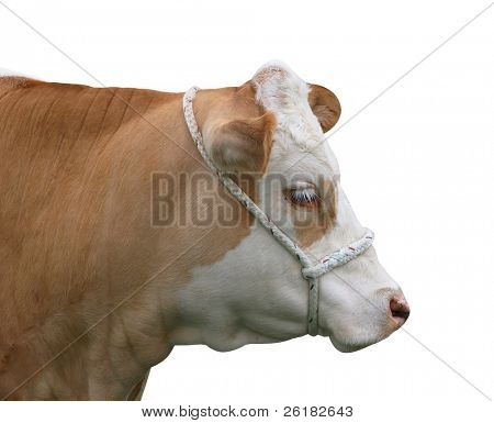Simmental Heifer isolated with clipping path