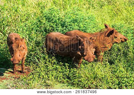 The Warthog Family Came Out Of The Grass. Safari In National Parks Of South Africa.