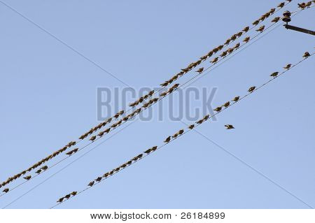 flock of birds sitting on wires against the background of blue sky