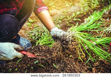Woman Asia Plant Vegetables Gardening At The Backyard. Women Asia Dig Into Soil The Vegetable Garden