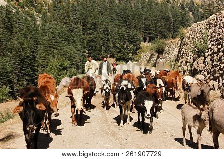 Shepherd With His Cows In The Mountains In Swat Valley, Mataltan, Pakistan 14-10-2015