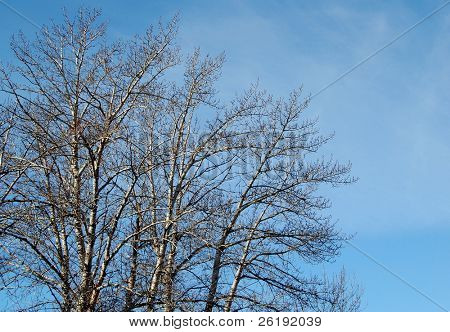 bare branches against blue sky; Calgary, Alberta