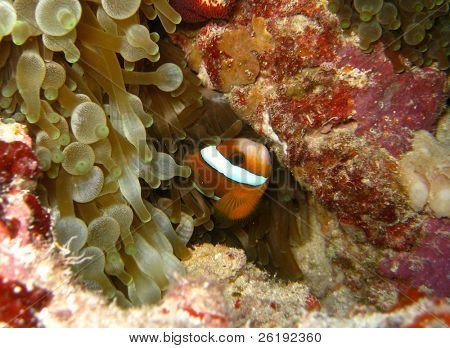 Orange clownfish hiding in bubble anemone; Great Barrier Reef, Australia