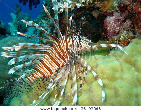 Lionfish swimming over coral; Great Barrier Reef, Australia