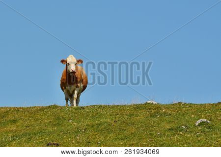 Cow In The Pasture, Mountain Dobratsch, Karawanken Alps, Austria