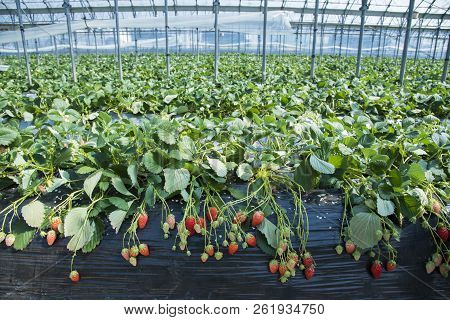 Strawberry Plantation In Dome
