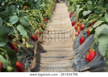 A Strawberry Farm Plantation In Dome, Japan