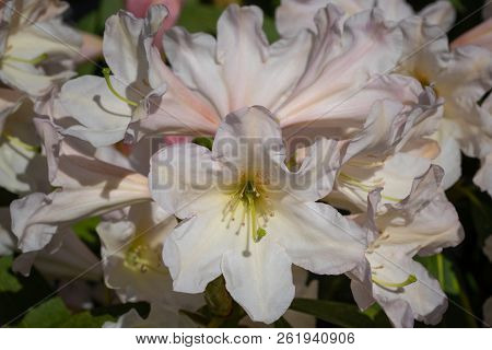 Rhododendron Hybrid Dufthecke (rhododendron Hybrid), Close Up Of The Flower Head