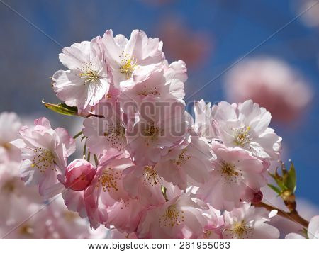 Pink Cherry Blossom - Closeup - Blue Sky In Background