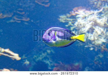 Tropical Fish Dorie In A Marine Aquarium In Blue Optics Paracanthurus Hepatus