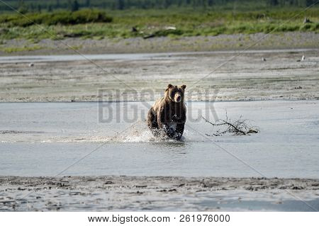 Alaskan Coastal Brown Bear Grizzly Splashes In The River Looking For Food In Katmai National Park