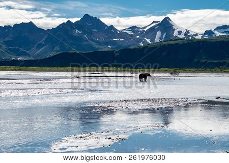 Grizzly Bear Fishes For Salmon In The Beautiful Scenery Of Katmai National Park In Alaska, Surrounde