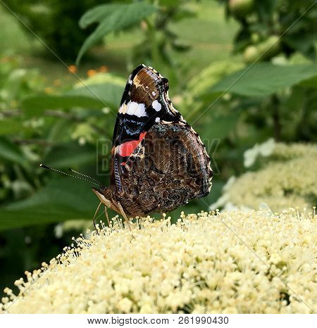 Big Black Butterfly Monarch Walks On Plant With Flowers And Green Leaves After Feeding. Butterfly Mo