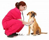Beautiful 19 year old teen vet student examining boxer puppy over white background. poster