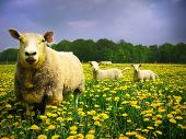 Sheeps and lambs peacefully grazing in a meadow covered with dandelions poster