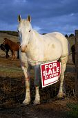 White horse standing in pasture with a for sale sign next to it poster