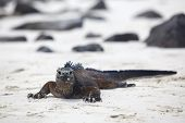 A marine iguana walking on the beach on Galapagos poster