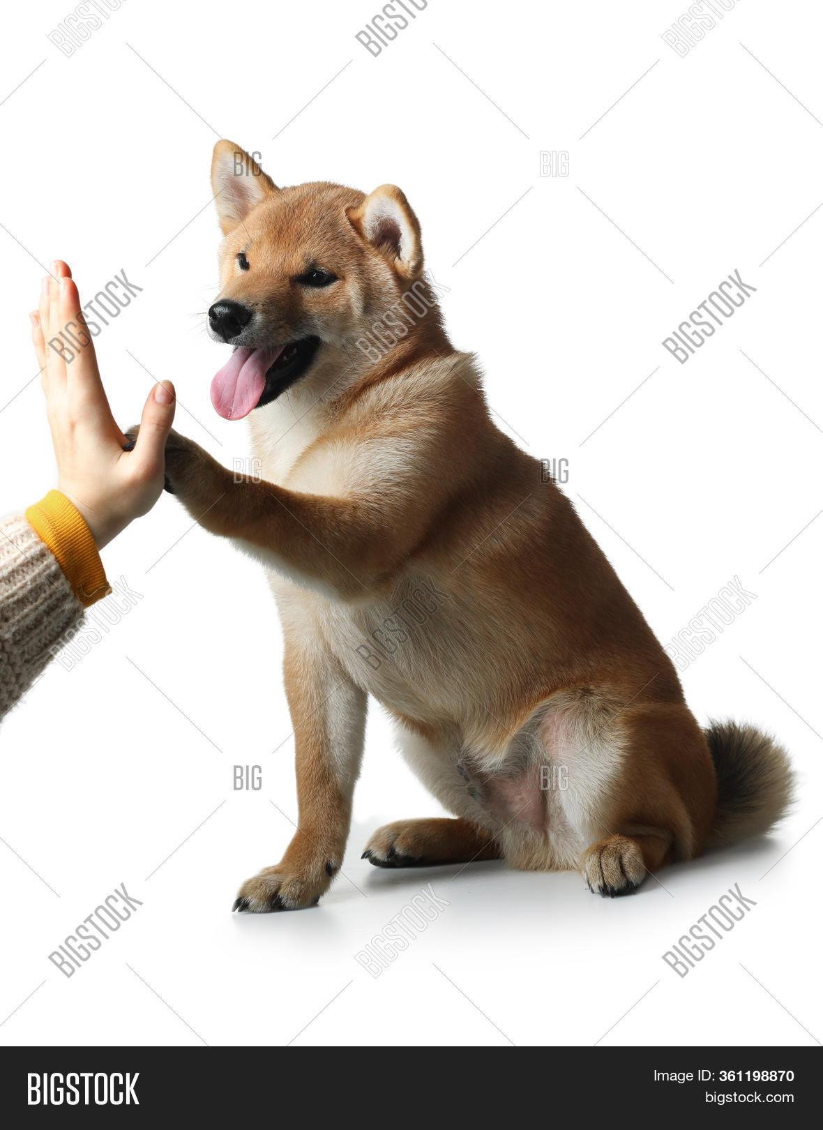Shiba Inu Puppy Dog Image Photo Free Trial Bigstock