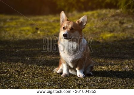 Beautiful Positive Corgi Is A Faithful Loyal Friend. Portrait Of A Thoroughbred Dog. Sunny Day. Ther