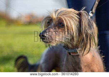 Close Up Portrait Of Curious Chinese Crested Dog Being Held On Leash. A Sunny Spring Day In A Park W