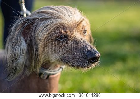 Close Up Portrait Of Chinese Crested Dog Being Held On Leash. A Sunny Spring Day In A Park With Gree