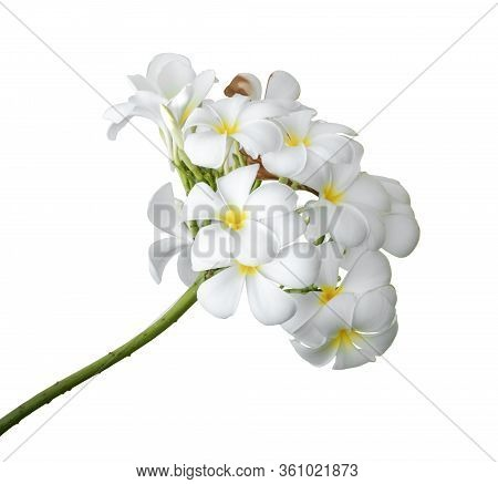 White Plumeria Flowers. Plumeria Flowers Bloom Isolated On White Background