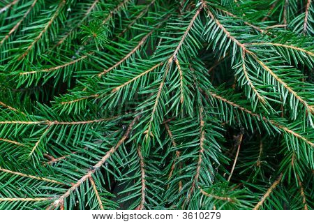 Twig Fir-Tree
