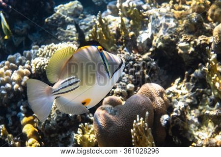 Arabian Picassofish (rhinecanthus Assasi, Triggerfish) In A Coral Reef In Red Sea, Egypt. Unusual Tr
