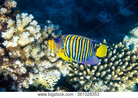 Royal Angelfish (regal Angelfish) In A Coral Reef, Red Sea, Egypt. Tropical Colorful Fish With Yello